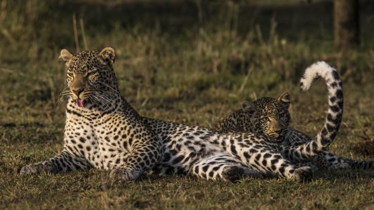 Jade Eyed Leopard Big Cat Week